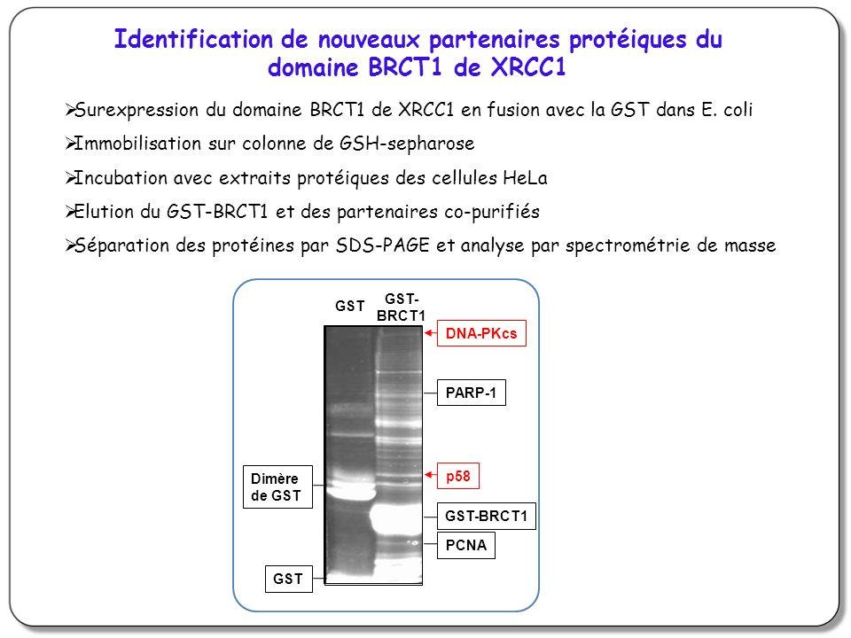 Identification de nouveaux partenaires protéiques du domaine BRCT1 de XRCC1