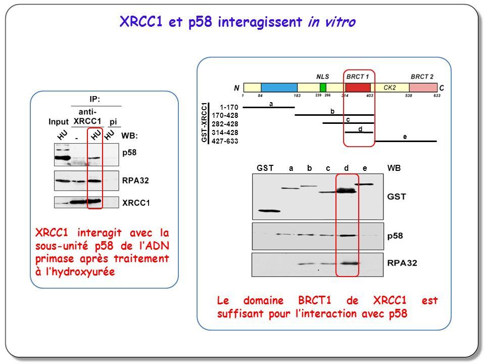 XRCC1 et p58 interagissent in vitro
