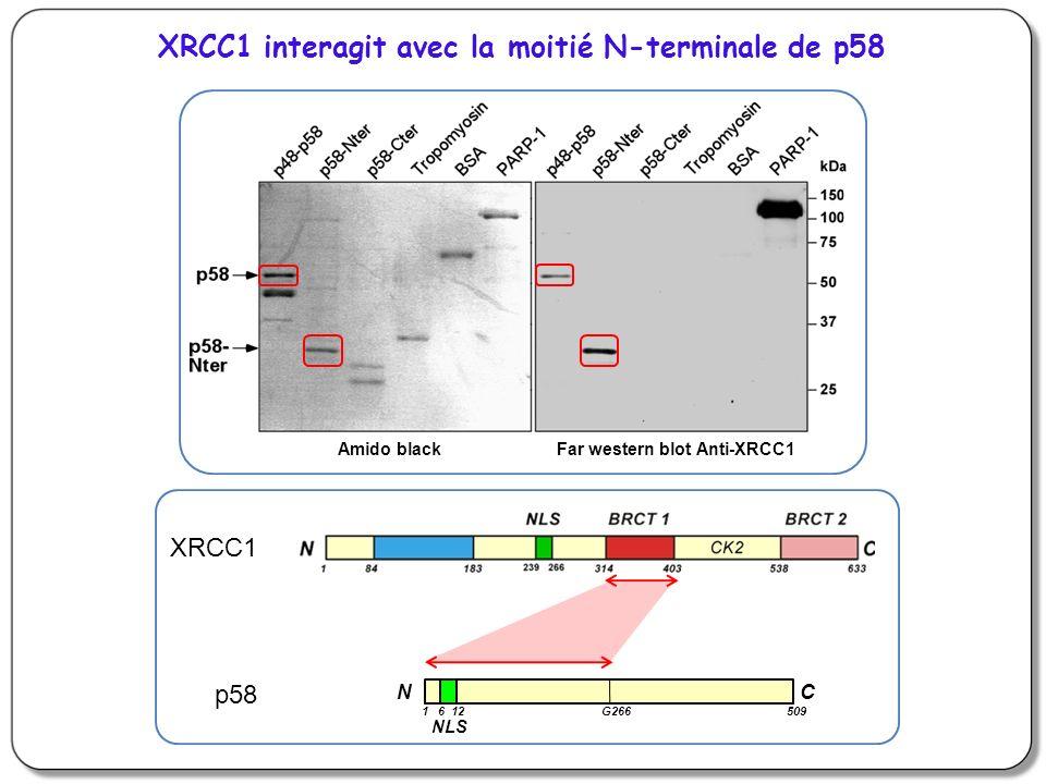 XRCC1 interagit avec la moitié N-terminale de p58
