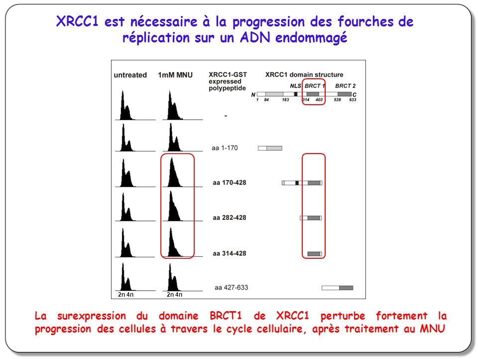 XRCC1 est nécessaire à la progression des fourches de réplication sur un ADN endommagé