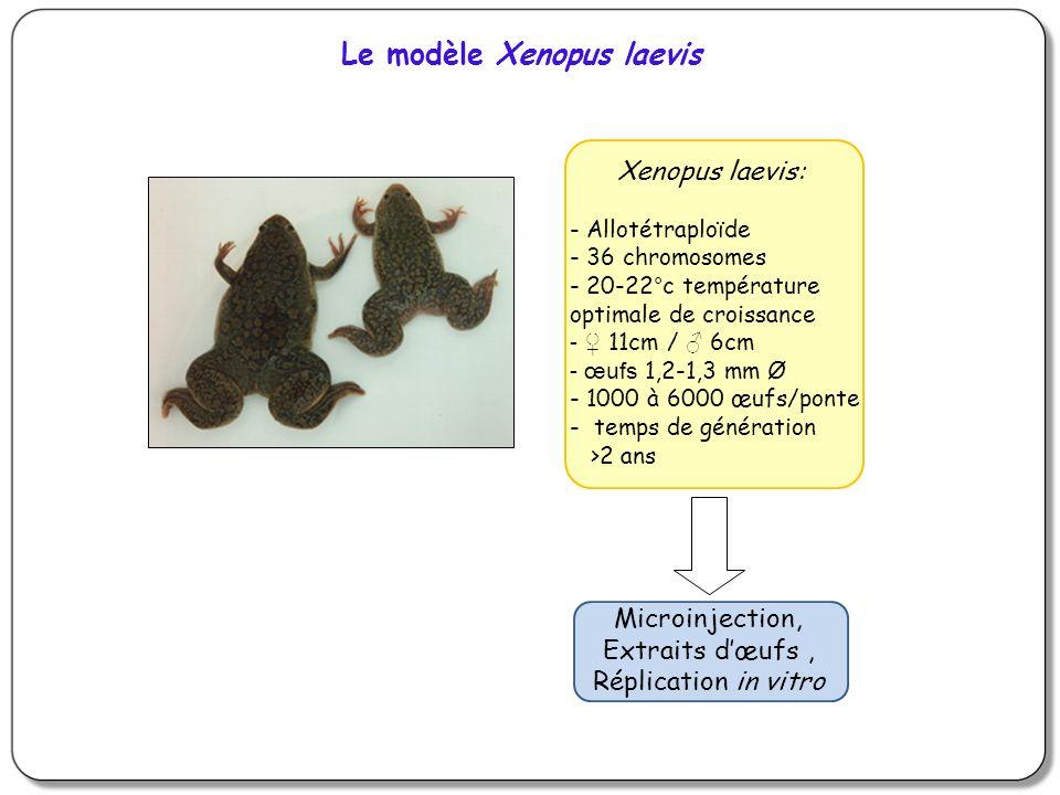 Le modèle Xenopus laevis