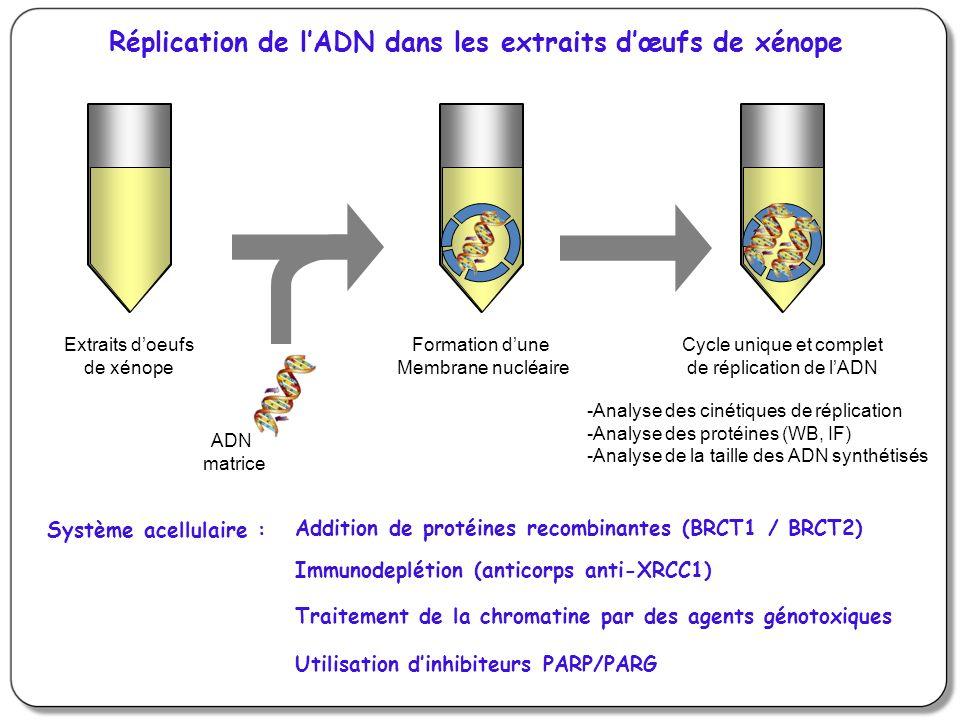Réplication de l'ADN dans les extraits d'œufs de xénope