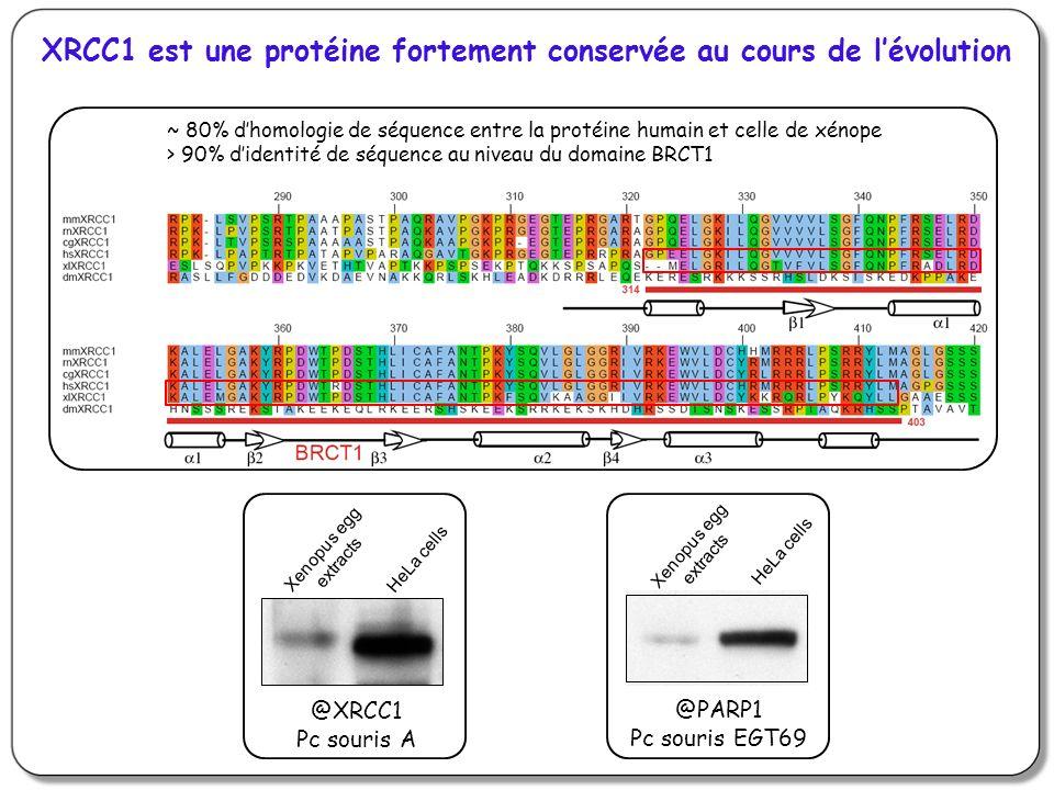 XRCC1 est une protéine fortement conservée au cours de l'évolution