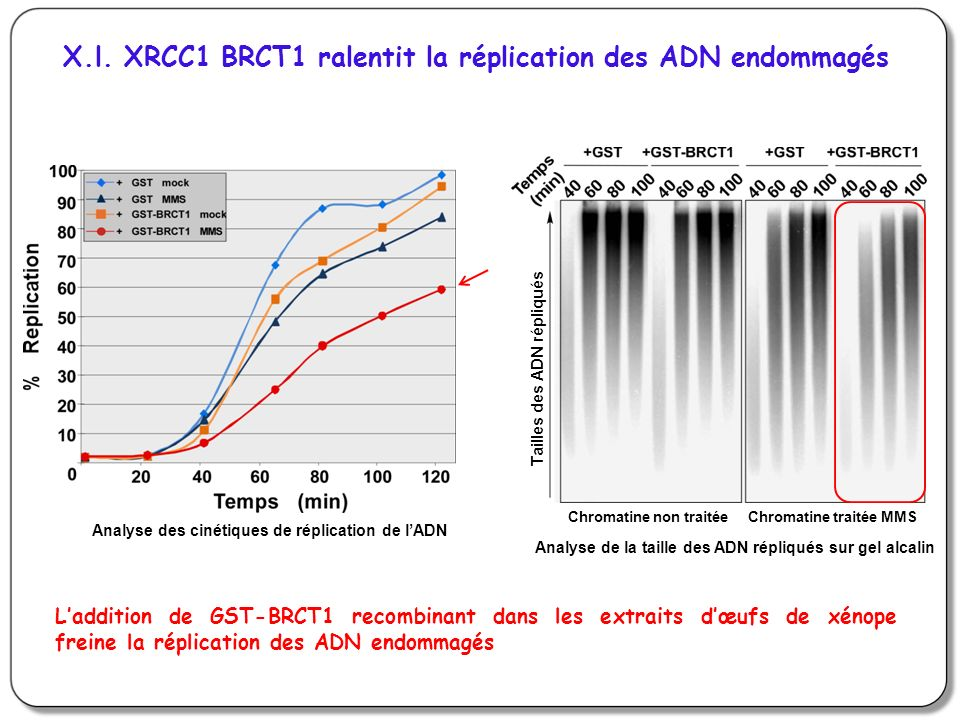X.l. XRCC1 BRCT1 ralentit la réplication des ADN endommagés