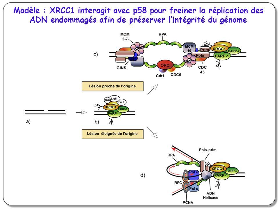 Modèle : XRCC1 interagit avec p58 pour freiner la réplication des ADN endommagés afin de préserver l'intégrité du génome