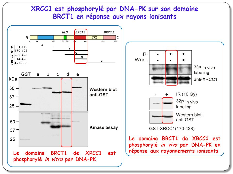 XRCC1 est phosphorylé par DNA-PK sur son domaine BRCT1 en réponse aux rayons ionisants