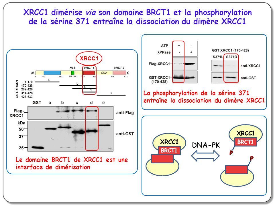 XRCC1 dimérise via son domaine BRCT1 et la phosphorylation de la sérine 371 entraîne la dissociation du dimère XRCC1
