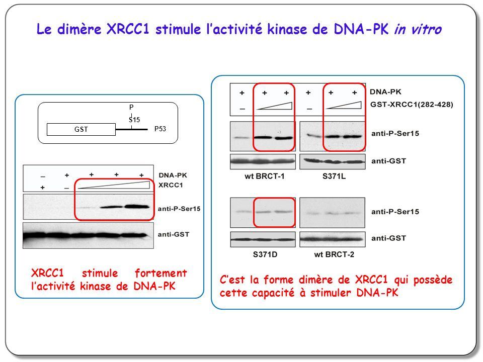 Le dimère XRCC1 stimule l'activité kinase de DNA-PK in vitro