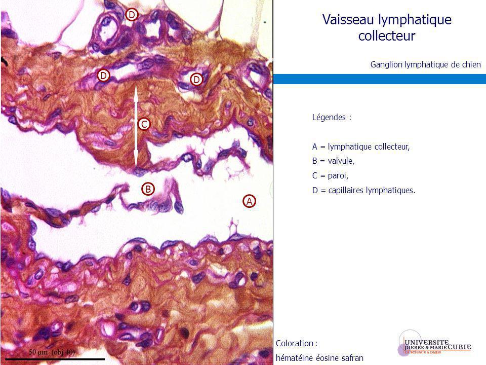 Vaisseau lymphatique collecteur