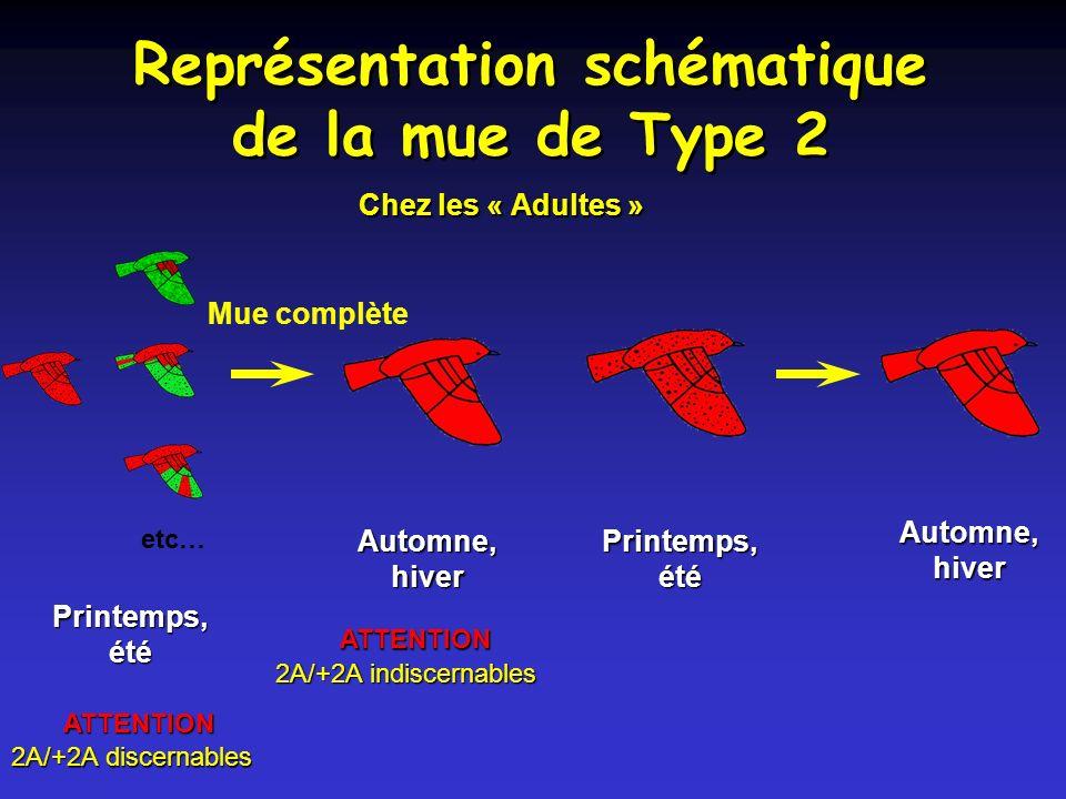Représentation schématique de la mue de Type 2