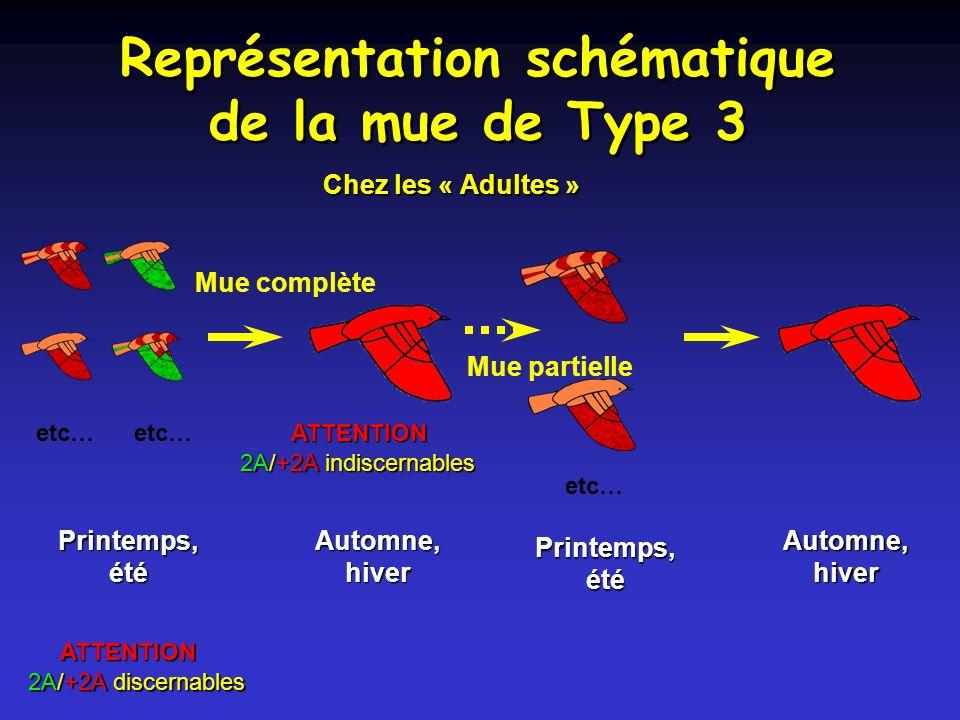 Représentation schématique de la mue de Type 3
