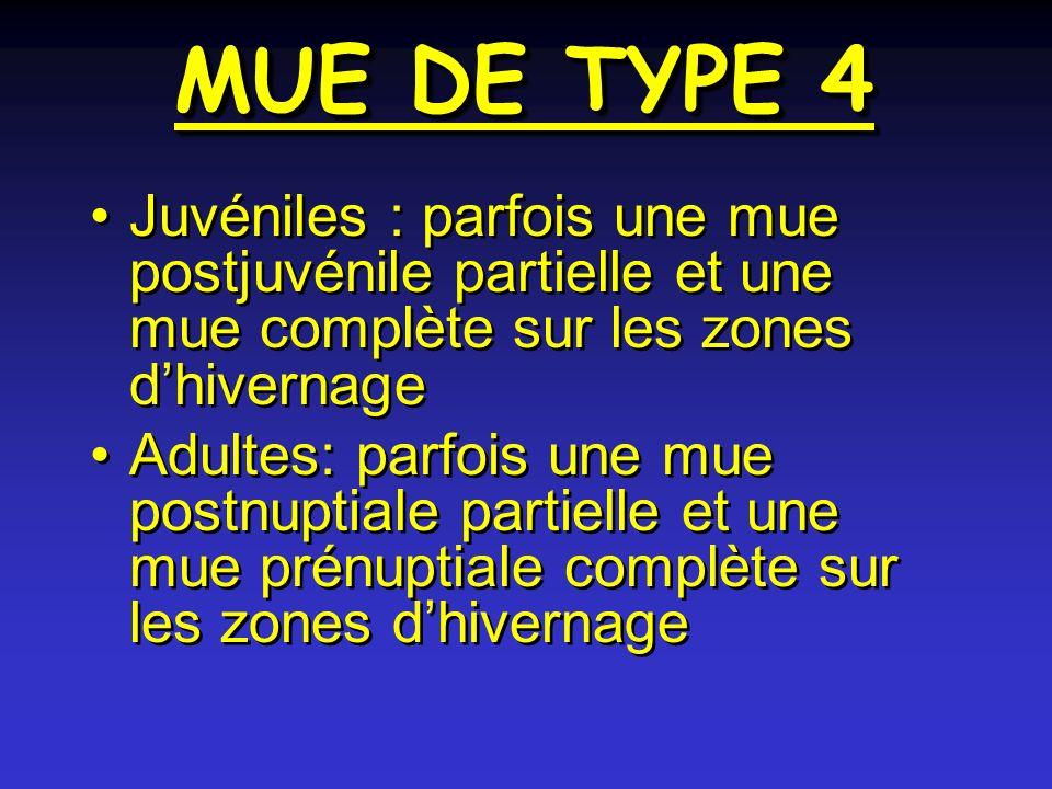 MUE DE TYPE 4 Juvéniles : parfois une mue postjuvénile partielle et une mue complète sur les zones d'hivernage.