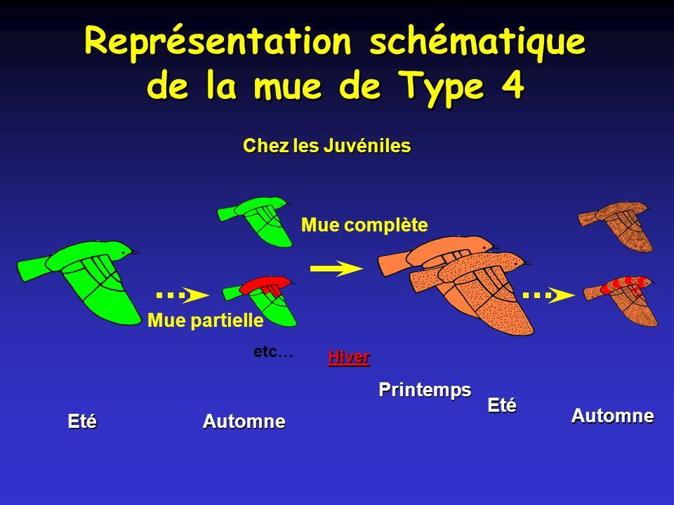 Représentation schématique de la mue de Type 4