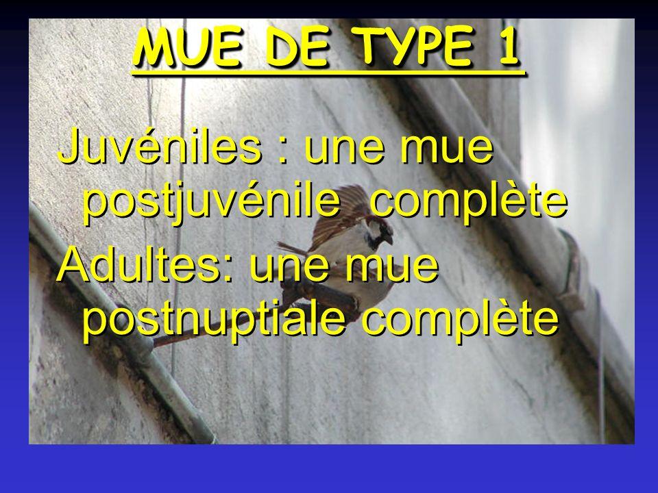 MUE DE TYPE 1 Juvéniles : une mue postjuvénile complète Adultes: une mue postnuptiale complète