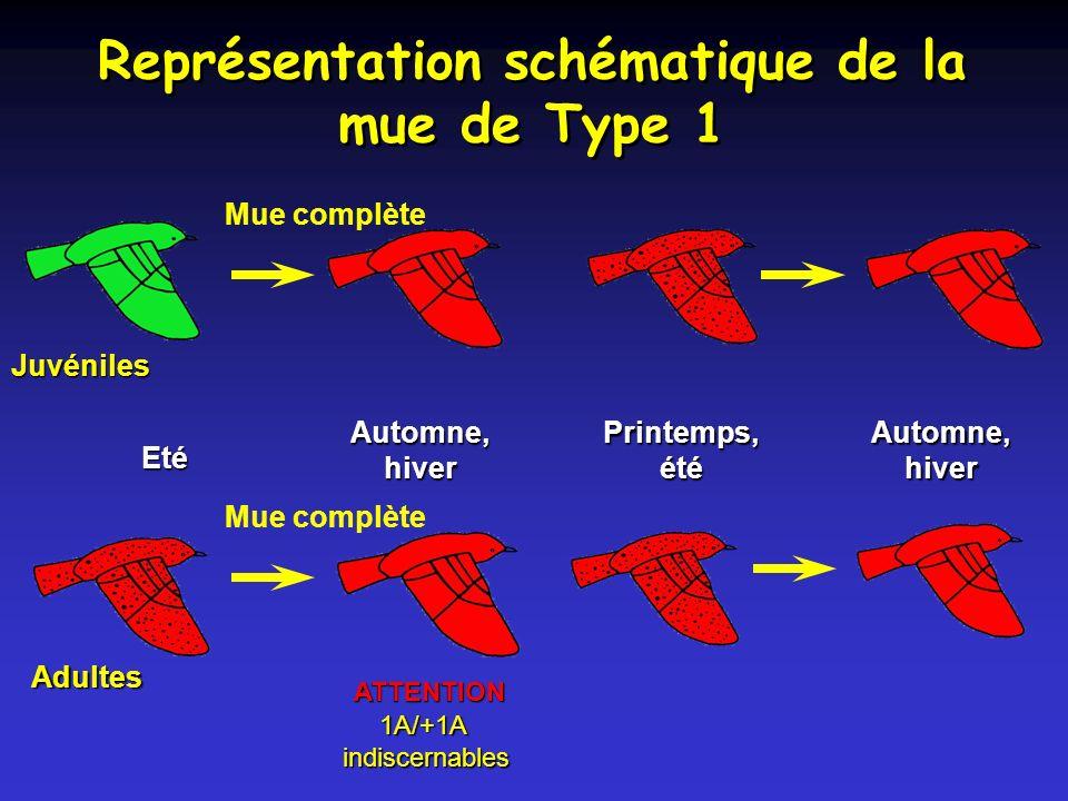 Représentation schématique de la mue de Type 1