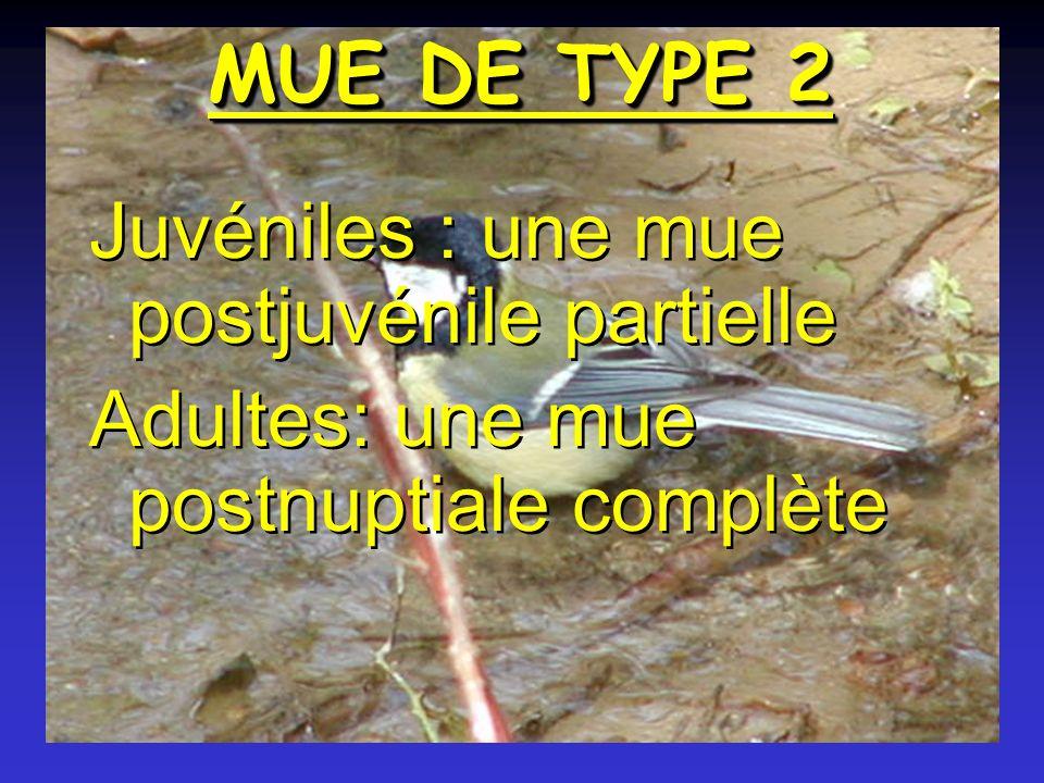 MUE DE TYPE 2 Juvéniles : une mue postjuvénile partielle Adultes: une mue postnuptiale complète