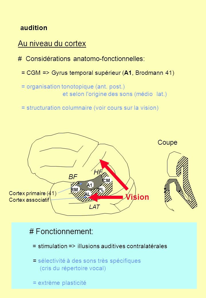 Au niveau du cortex Vision # Fonctionnement: audition