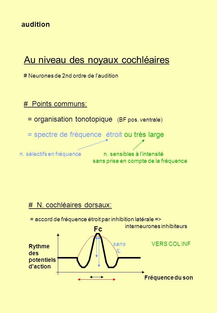 Au niveau des noyaux cochléaires