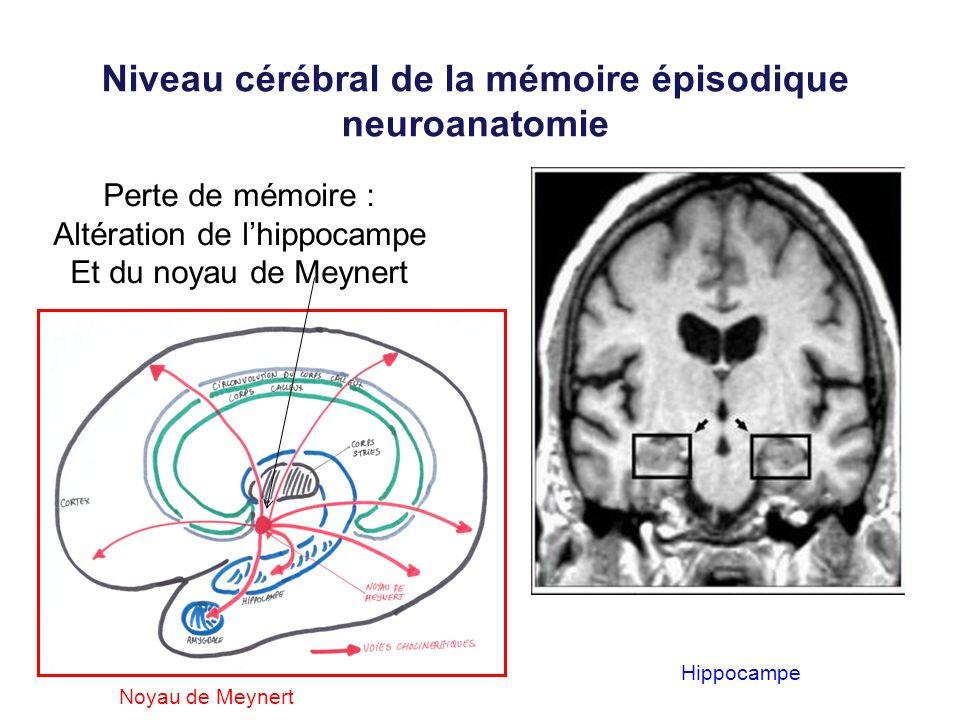 Niveau cérébral de la mémoire épisodique neuroanatomie
