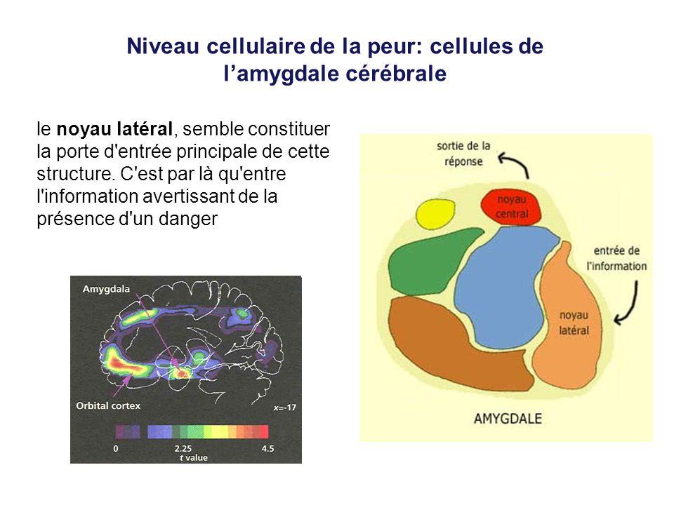 Niveau cellulaire de la peur: cellules de l'amygdale cérébrale