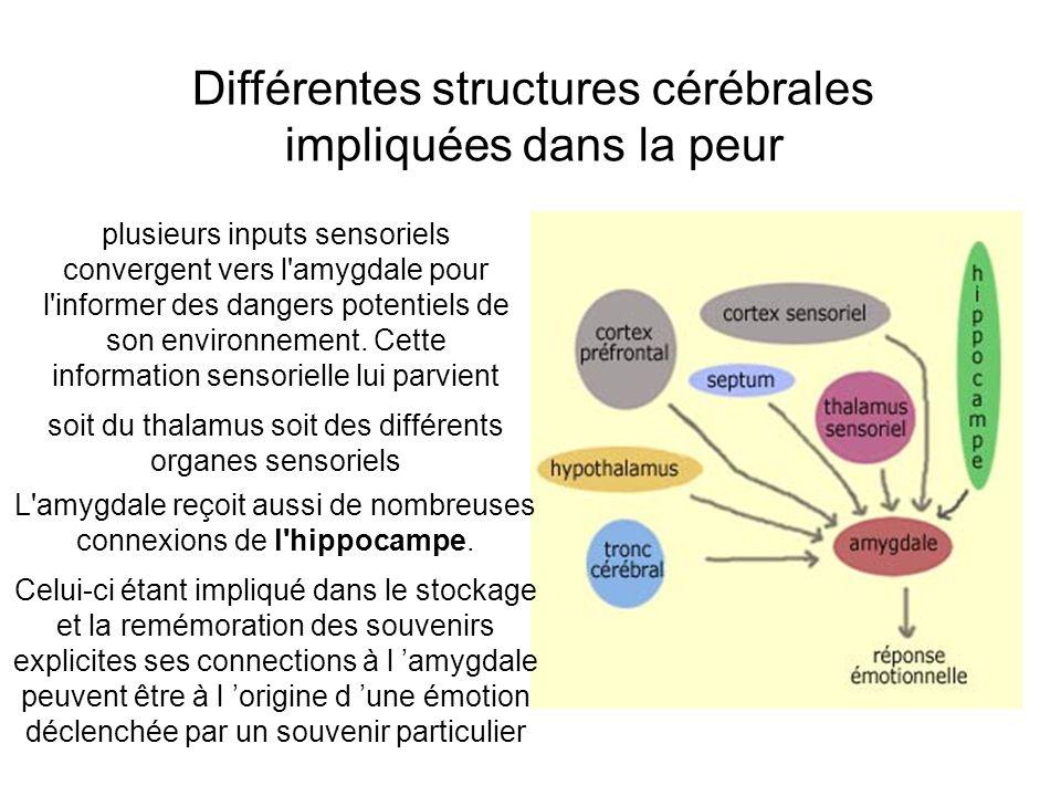 Différentes structures cérébrales impliquées dans la peur