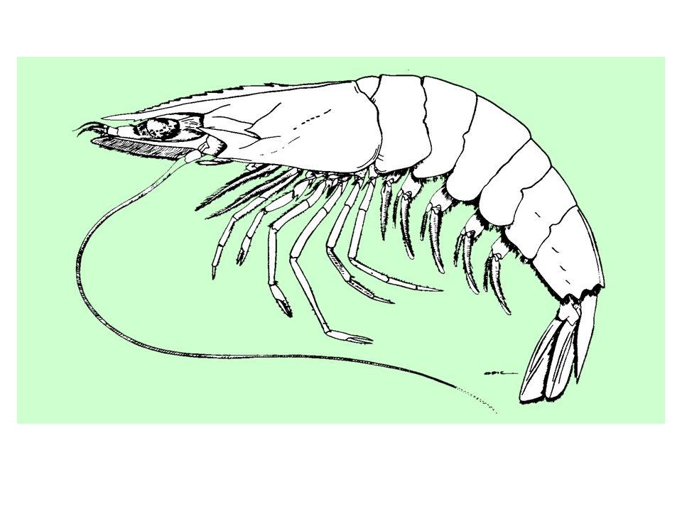 Dans sa phase marine, l espèce vit sur des fonds meubles entre la côte et 65 m de profondeur. Les larves sont pélagiques et les juvéniles grandissent dans les estuaires. Les plus fortes concentrations d adultes sont trouvées entre 25 et 45 m au Sénégal, où l espèce peut atteindre 19 cm de longueur totale pour un poids approchant les 80 g.