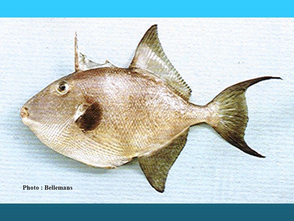 Balistidae : les espèces fréquentent habituellement des régions favorables à la vie corallienne, dont les eaux chaudes sont relativement claires et salées, à l inverse de ce qui se rencontre devant les côtes ouest africaines.