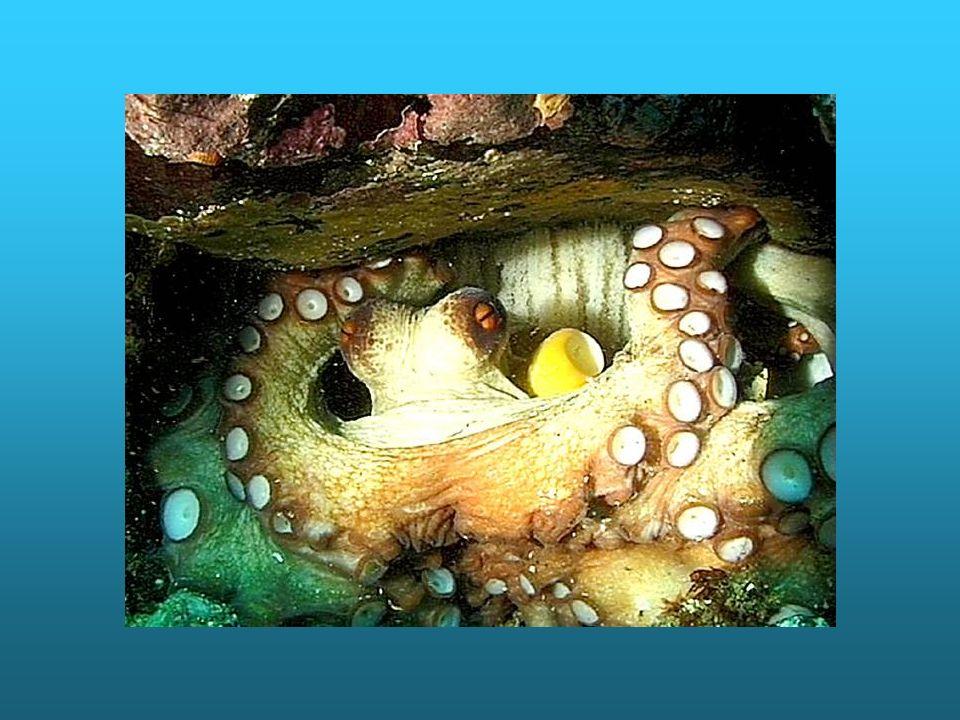 La femelle pond une seule fois environ 250 000 œufs qu elle protège, nettoie et ventile dans un abri clos d où elle ne sort jamais.