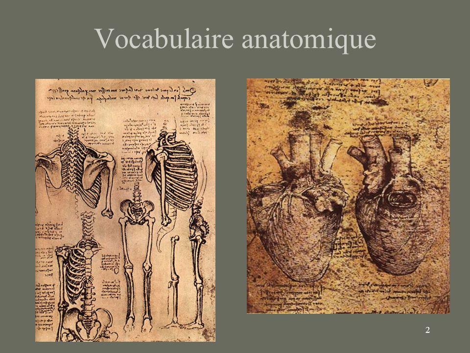 Vocabulaire anatomique
