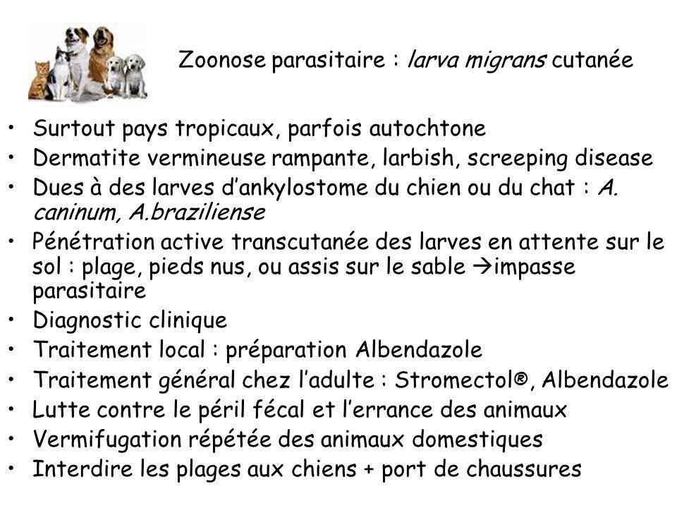 Zoonose parasitaire : larva migrans cutanée