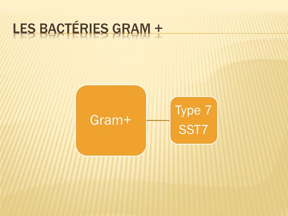 Les bactéries gram + Gram+ Type 7 SST7