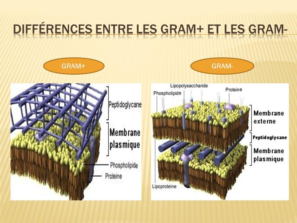 Différences entre les gram+ et les gram-