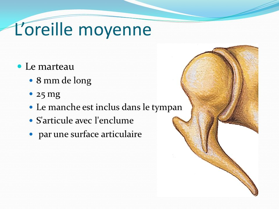 L'oreille moyenne Le marteau 8 mm de long 25 mg