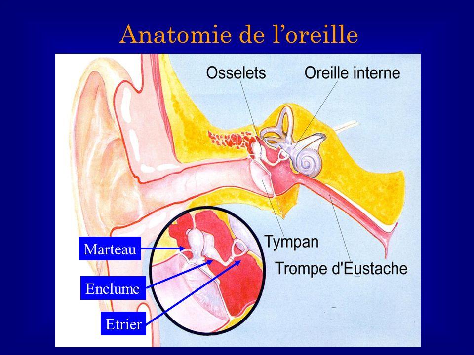 Anatomie de l'oreille Marteau Enclume Etrier