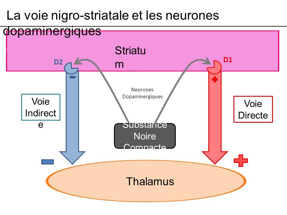 La voie nigro-striatale et les neurones dopaminergiques