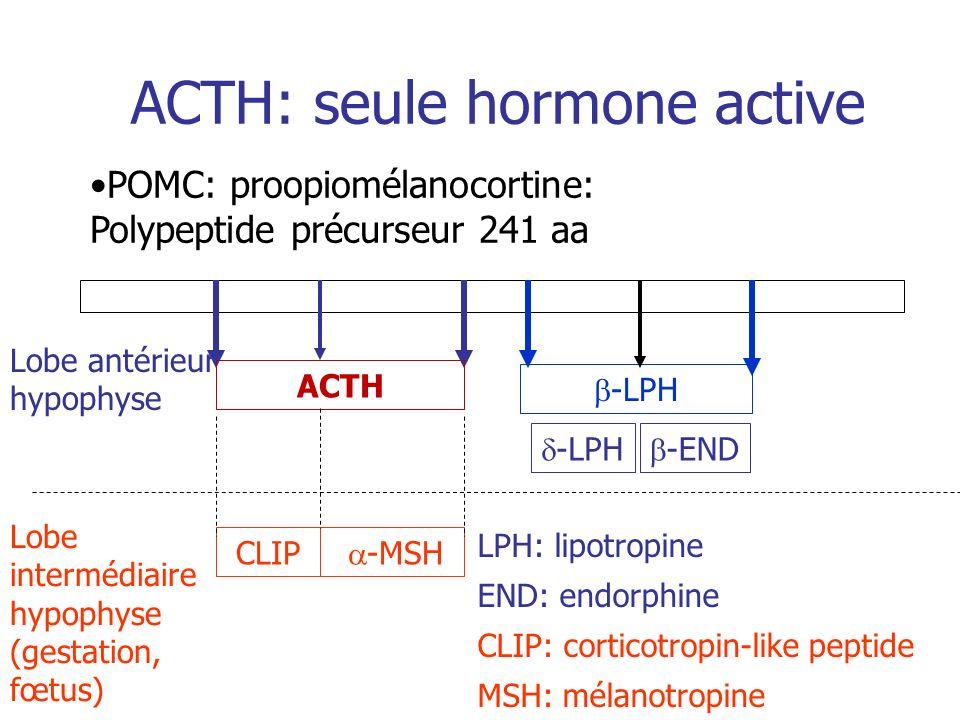 ACTH: seule hormone active