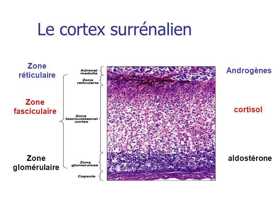 Le cortex surrénalien Zone réticulaire Androgènes Zone fasciculaire