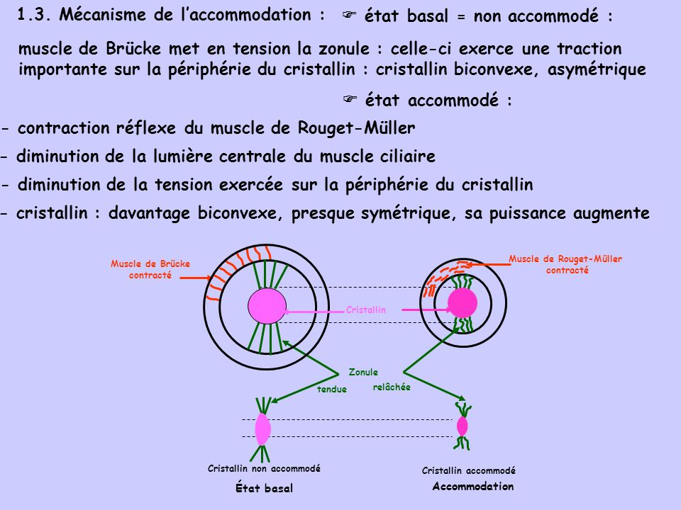 1.3. Mécanisme de l'accommodation :  état basal = non accommodé :