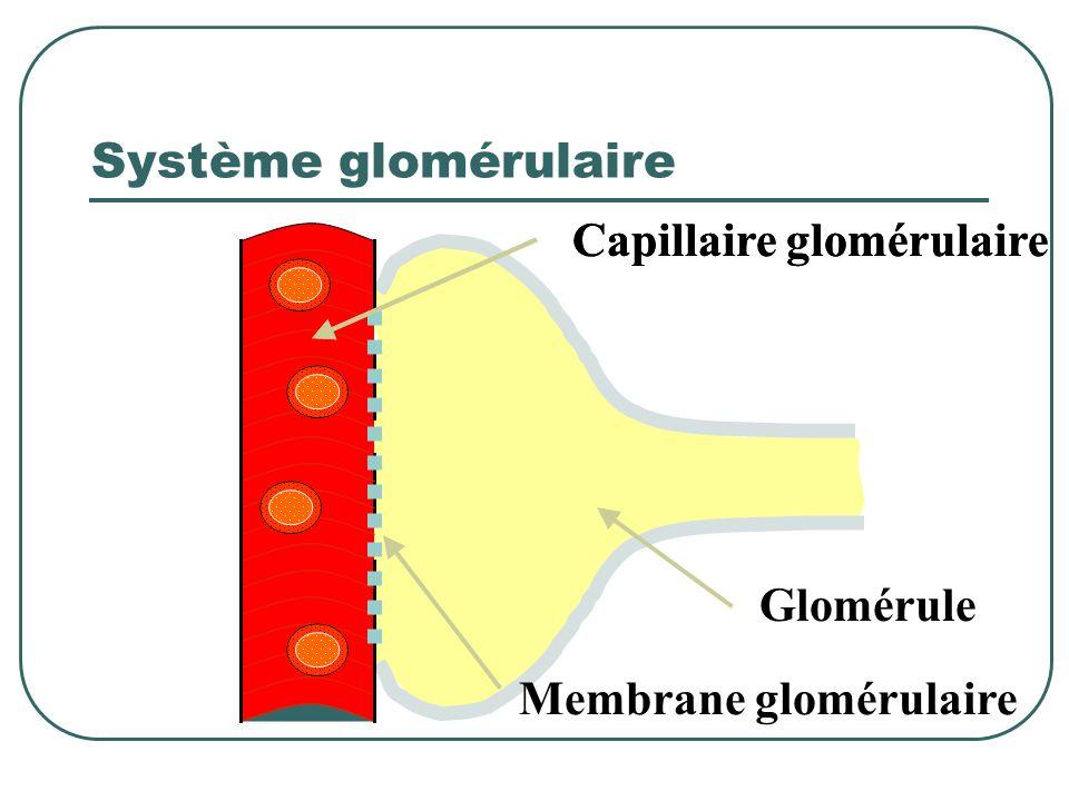Système glomérulaire Capillaire glomérulaire Capillaire glomérulaire