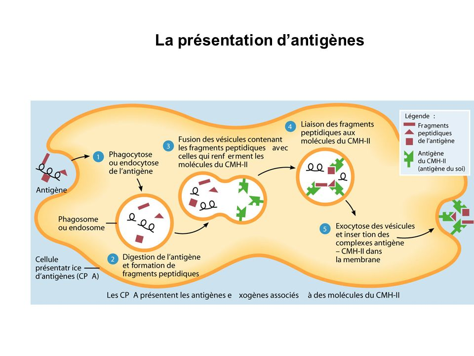 La présentation d'antigènes