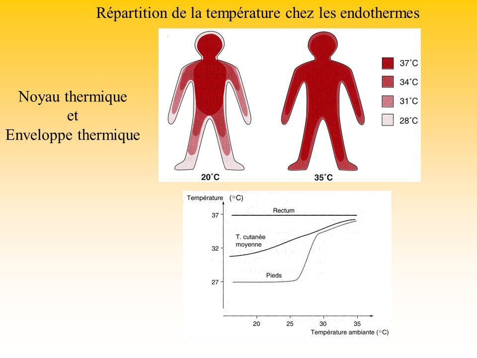 Répartition de la température chez les endothermes