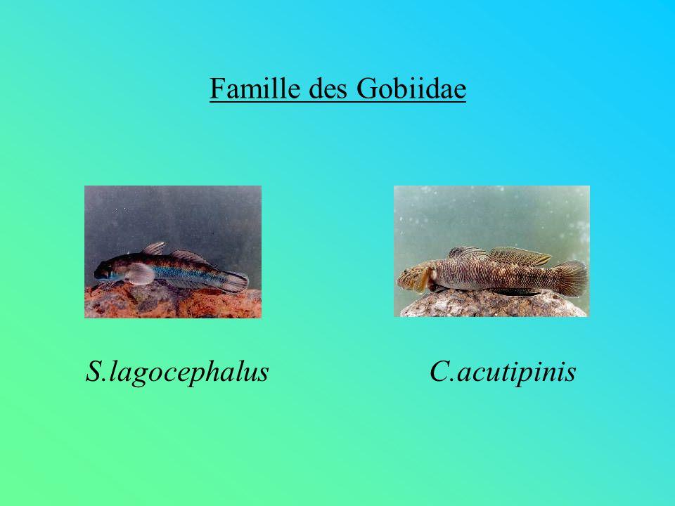 Famille des Gobiidae S.lagocephalus C.acutipinis