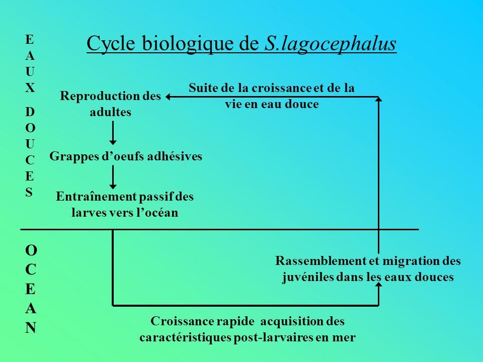 Cycle biologique de S.lagocephalus