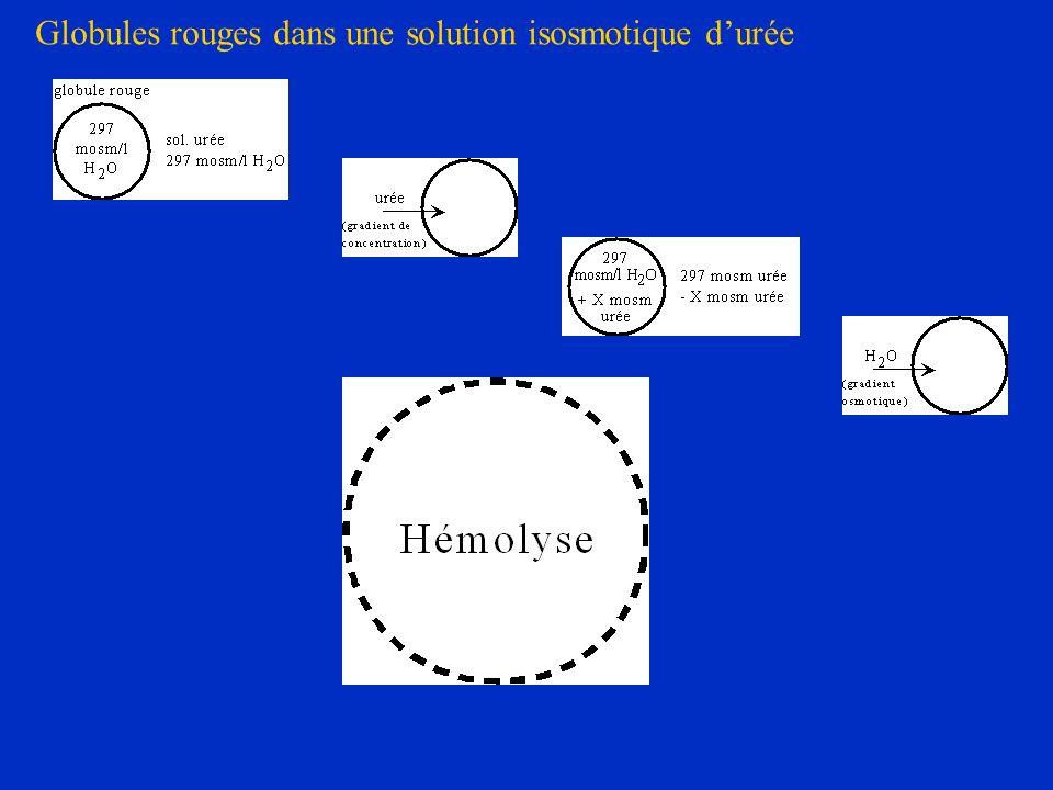 Globules rouges dans une solution isosmotique d'urée