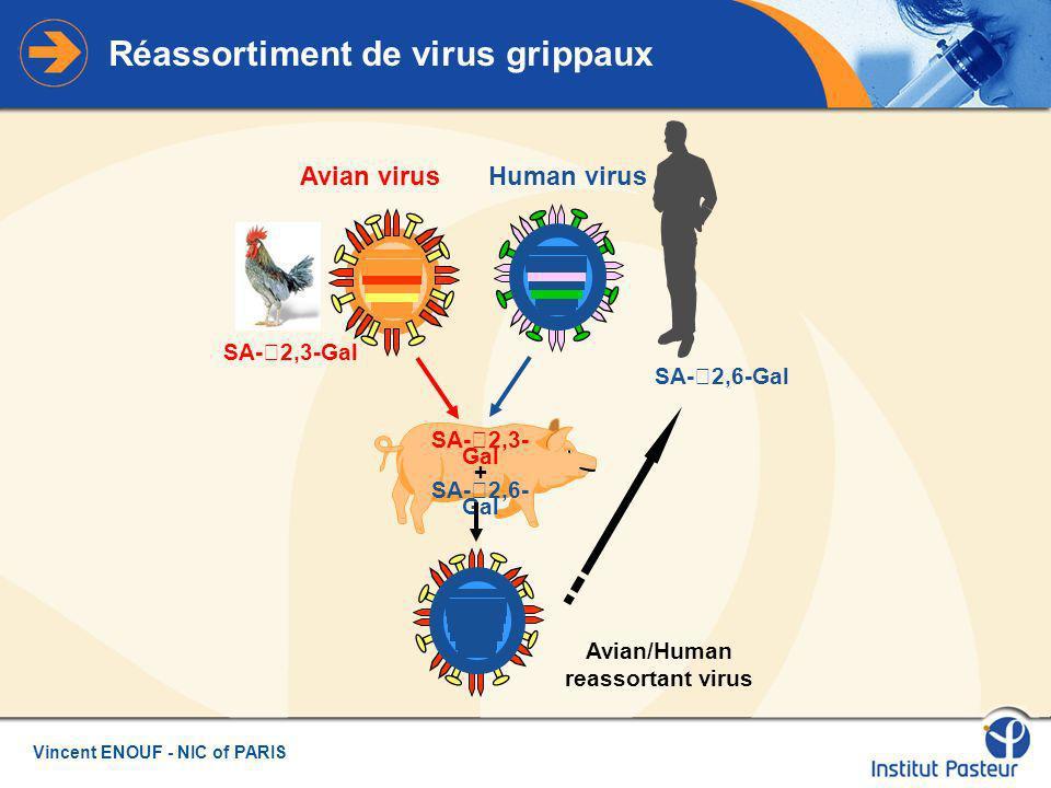 Réassortiment de virus grippaux