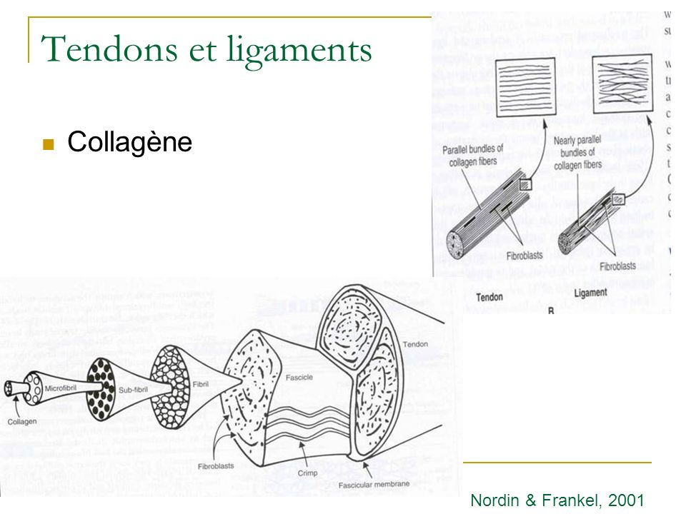 Tendons et ligaments Collagène Nordin & Frankel, 2001
