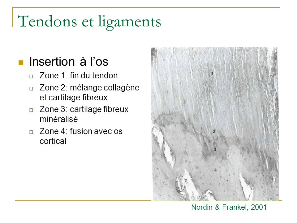Tendons et ligaments Insertion à l'os Zone 1: fin du tendon