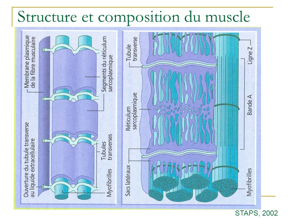 Structure et composition du muscle