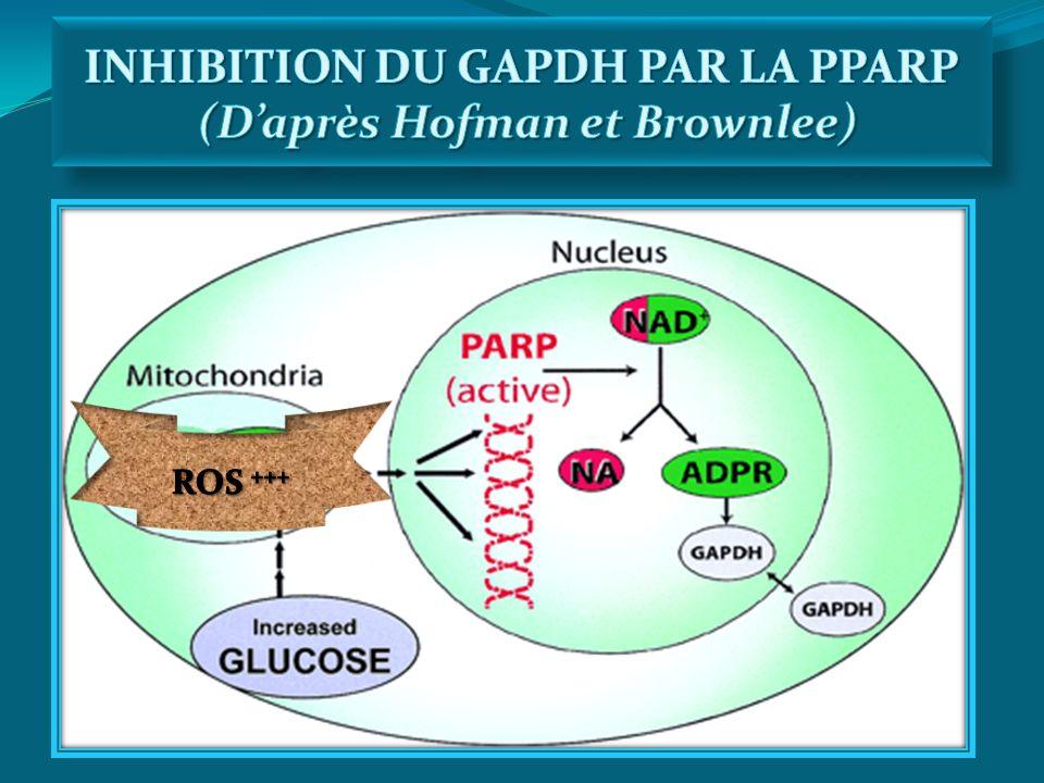 INHIBITION DU GAPDH PAR LA PPARP (D'après Hofman et Brownlee)