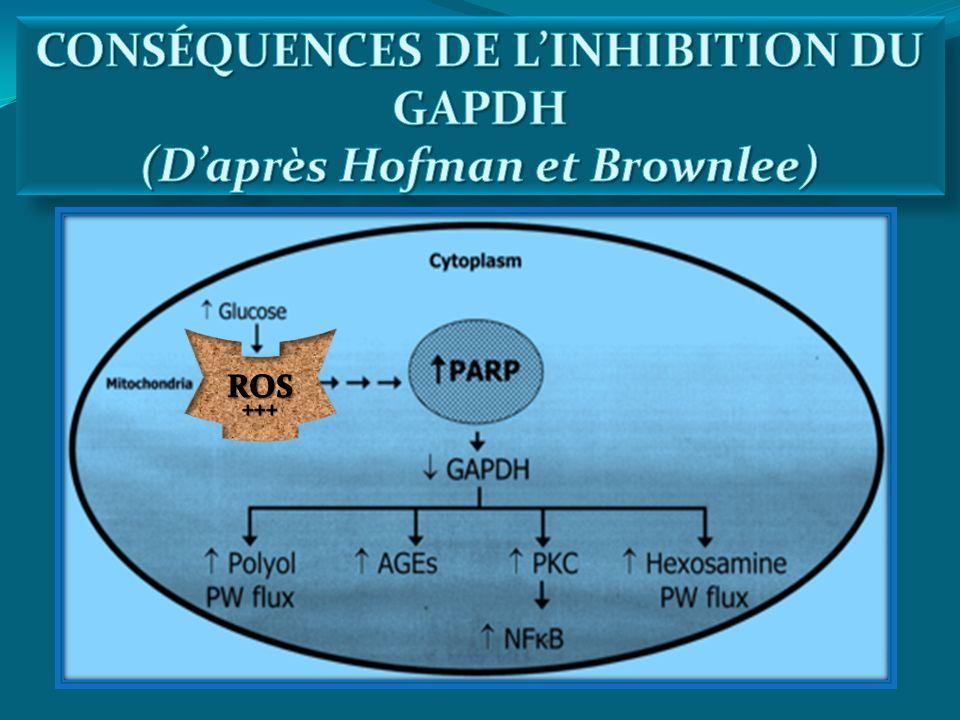 CONSÉQUENCES DE L'INHIBITION DU GAPDH (D'après Hofman et Brownlee)